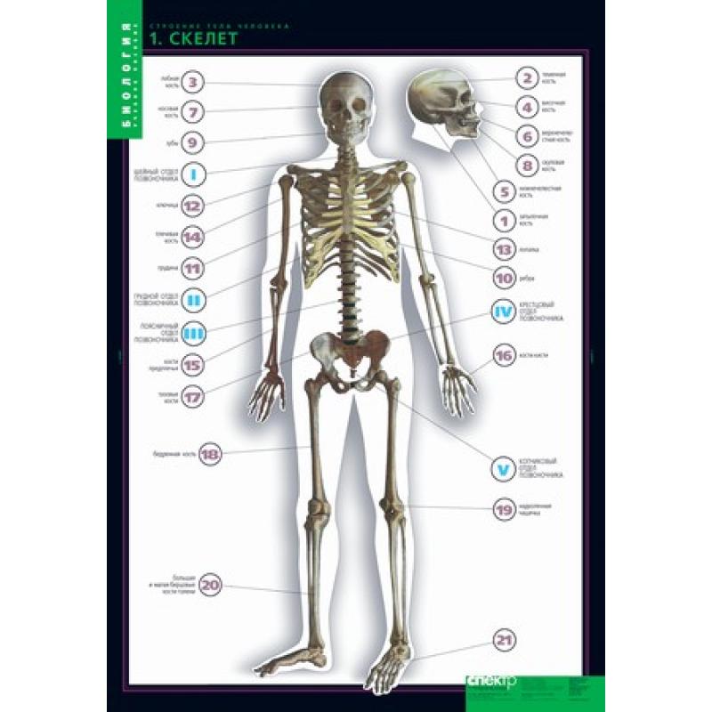 БИОЛОГИЯ Строение тела человека